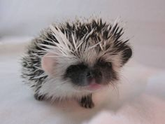 Cute hedgie with his different colored ears! Cute Creatures, Beautiful Creatures, Animals Beautiful, Happy Hedgehog, Cute Hedgehog, Animals And Pets, Funny Animals, Pygmy Hedgehog, Little Critter