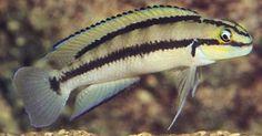 telmatochromis_brichardi a little fish with nice markings