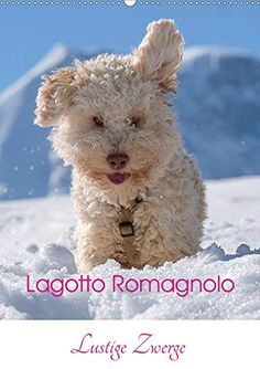 Lagotto Romagnolo, Scenery, Calendar, German, Teddy Bear, Dogs, Nature, Animals, Funny Gnomes