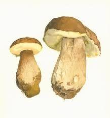 """Résultat de recherche d'images pour """"botanique planche champignons"""""""