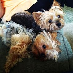 Yorkies would love to have a house full of these babies.
