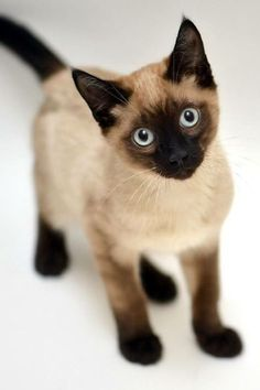 Terrific Photos siamese cats beautiful Suggestions Siamese kittens and cats are the best recognized for their modern, sleek systems, steamy jackets as well as special mar Siamese Kittens, Cute Kittens, Cats And Kittens, Bengal Cats, Kittens Playing, Tabby Cats, Pretty Cats, Beautiful Cats, Animals Beautiful