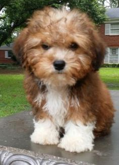 Yorkie Poo. My only grandchild is one of these!