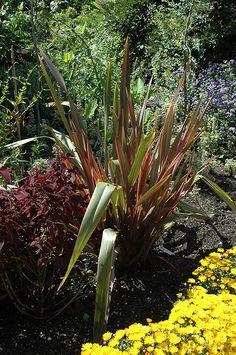104 best phormium new zealand flax images on pinterest new zealand find sundowner new zealand flax phormium sundowner in toronto etobicoke mississauga vaughan brampton ontario on at plant world altavistaventures Images
