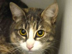 BABY KILLED BY ACC - NYC **Lovely Sweet Kitten Girl**TO BE DESTROYED 01/18/15 PRETTY GIRL former owner stated she lived with cats and was friendly around them. She also loved to play, Enjoyed Petting. ID # A1024670. Female brn tabby & white about 9 MONTHS old. OWNER SUR INAD FACIL.