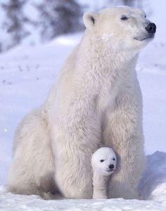 polar bear/ best pin on pinterest/ kc