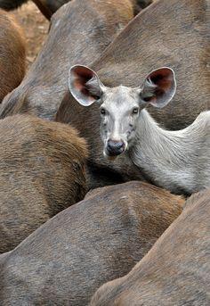 Leucistic Sambar deer Belgian Blue Cattle, Sambar Deer, Melanistic Animals, Melanism, Deer Family, Rare Animals, Black Animals, Blue Ridge, Kangaroo