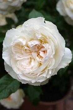 ~Floribunda Rose: Rosa 'Bolero' (France, before 2003)
