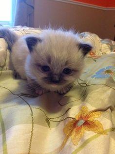 My new Munchkin Ragdoll Kitten: Brian Butterfield!! http://ift.tt/2ahO062