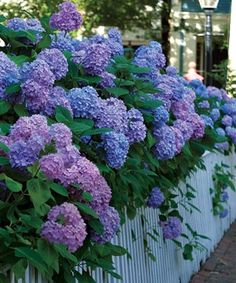 Love how the hydrangeas spill over the fence