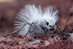 A Thistledown Velvet Ant, also known as a Cow Killer, is seen in the Mojave Desert, California. This unusual insect is not really an ant, but a female wasp. Photographer Robert JensenThe female wasp (about 2cm long) has