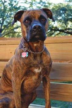 Popular Brindle Boxer Bow Adorable Dog - 0f15db69650cf963ad56a673b6cbe8f8--blog-page-brindle-boxer  Gallery_949752  .jpg