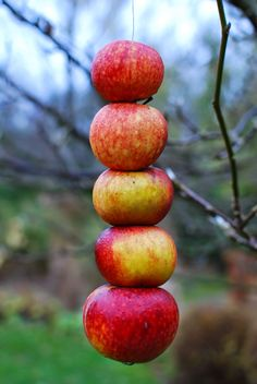 Hang apples from the tree for the birds and squirrels | Almbacken. Enjoyed by www.mygrowingtraditions.com
