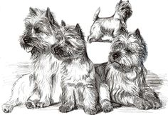 Westie, Adult Coloring Pages Little Dogs, Big Dogs, Cute Dogs, Dogs And Puppies, Westies, Cairns, Farm Animal Coloring Pages, Dog Rules, Vintage Dog