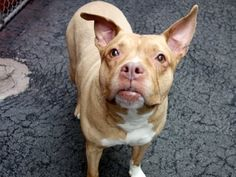 """RIP.       SALT - A1067194 SALT - A1067194 TO BE DESTROYED 3 16 12NOON STARTING PLEASE SAVE ME I ONLY HAVE A FEW HOURS LEFT BEFORE I GO TO DOGGY HEAVEN  SALT - A1067194 TO BE DESTROYED 03/16/16 A volunteer writes: Pleasantly plump...a little dumpling...this little girl has clearly been """"the salt of the earth"""" to someone before joining us as a stray. Letting me know she needed a walk, Salt showed off her housetraining skills the moment we were out the door. She's a sniffer of all things…"""