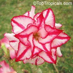 Image from http://toptropicals.com/pics/garden/m2/2012/canon/IMG_0389Adenium_Classic_TA.jpg.