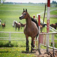 WKRA | ARABIAN HORSE DAYS. 2015 POLAND