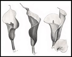 Charcoal drawing of calla lilies