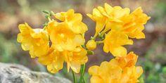 Φύτευση και φρόντιδα φρέζιας Herbs, Rose, Plants, Gardening, Decoration, Decor, Pink, Lawn And Garden, Herb