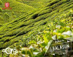 #BALASUN_TEA_ESTATE