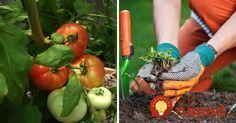 17 najlepších susedov: Ak zasadíte tieto rastliny vedľa seba, ušetríte za hnojivá aj postreky proti škodcom! Pergola, Gardening, Fruit, Vegetables, Flowers, Balcony Ideas, Album, Vegetable Garden, Belle