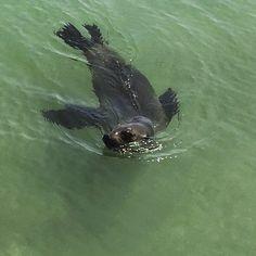 Sammy the seal #seaside #seal #furseal #beach #sun #watermammals #destinationwarrnambool #live3280 #love3280 # by plackate