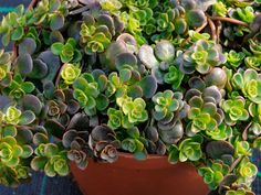 Sedum tetractinum - Chinese Sedum is a low growing herbaceous perennial succulent ground hugger. It spreads by runners forming a mat of...