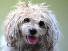 SAFE 01/24/15 --- Manhattan Center   LEO - A1025872  MALE, WHITE, MALTESE, 5 yrs STRAY - STRAY WAIT, HOLD RELEASED Reason STRAY  Intake condition EXAM REQ Intake Date 01/20/2015,  https://www.facebook.com/Urgentdeathrowdogs/photos/pb.152876678058553.-2207520000.1421879827./947437771935769/?type=3&theater