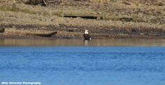 Andalusian Male Bald Eagle in the Delaware River