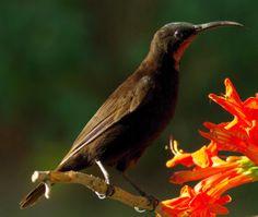 African Black Sunbird - Afrikaanse Swartsuikerbekkie