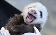 Curator of Mammals prepares to weigh newly-born giant Panda twin cub B at the Atlanta Zoo in Georgia