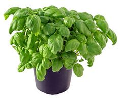basil. cannot. wait.