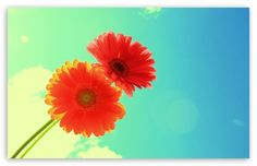 Red Gerbera wallpaper