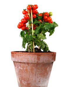 "You Don't Have To Settle For Store Bought Tomatoes Over The Winter. Better options for indoor winter tomatoes are ""indeterminate"" varieties, those that continue growing and producing indefinitely. cherry and plum types, bearing small fruits in abundance Growing Tomatoes Indoors, Growing Tomatoes In Containers, Growing Veggies, Grow Tomatoes, Cherry Tomatoes, Porch Tomatoes, Growing Carrots, Herbs Indoors, Gemüseanbau In Kübeln"
