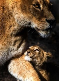 "letsgowild: "" Lioness and Cub "" - animals - Animales I Love Cats, Big Cats, Beautiful Cats, Animals Beautiful, Beautiful Things, Cute Baby Animals, Animals And Pets, Lioness And Cubs, Gato Grande"