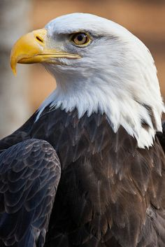 Portrait of the American Bald Eagle Photo by Matt Cuda — National Geographic Your Shot Eagle Images, Eagle Pictures, Exotic Birds, Colorful Birds, Beautiful Birds, Animals Beautiful, Bird Barn, Barn Owls, Eagle Wallpaper