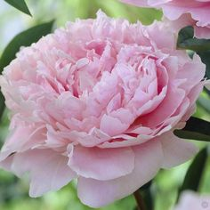 Peony plant for the garden
