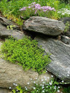 Lemon Thyme in the rock #garden