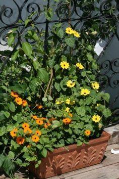 Schneller Sichtschutz: Einjährige Pflanzen, die schnell wachsen und einen dekorativen Sichtschutz bilden. Schnell Wände und Zäune begrünen!