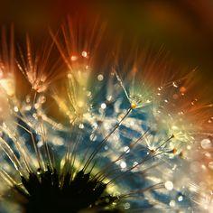 dandelion fluff.. by AdrianaKH-75 on DeviantArt