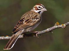 Lark Sparrow | Texas Ranches 2011 p 1