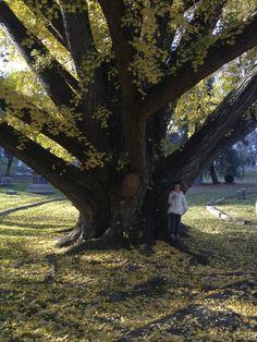 Gingko tree at Cave Hill Cemetary