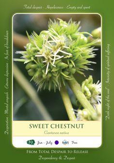 Bach Flower Remedy - SWEET CHESTNUT