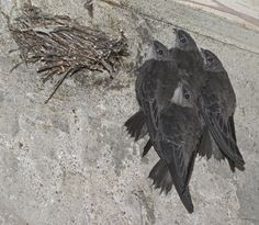chimney swift | Chimney Swift (Chaetura pelagica) Four young, clinging to wall near ...