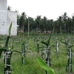Dragon Fruit South Africa Cuttings For Sale - Planting Method Fruit Plants, Potted Plants, Como Plantar Pitaya, Dragon Fruit Plant, Cuttings, Trellis, Planting, South Africa, Vineyard
