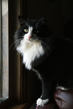 Beautiful Tuxedo Cat ------ Looks like a long-haired version of my precious Artemis <3
