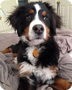 3/9/15 Westminster, MD - Bernese Mountain Dog. Meet Manny, a dog for adoption. http://www.adoptapet.com/pet/12547366-westminster-maryland-bernese-mountain-dog