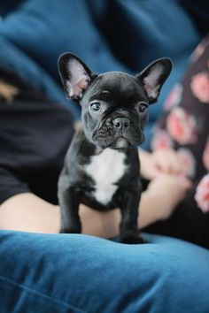 French Bulldog Puppy !!! #dog #cute