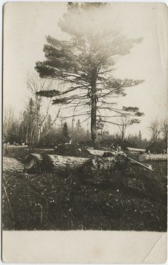 [][][] Up a white pinetree, 1910.