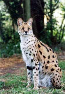 Serval they are like dog-size cats